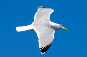 seagull-164287_640